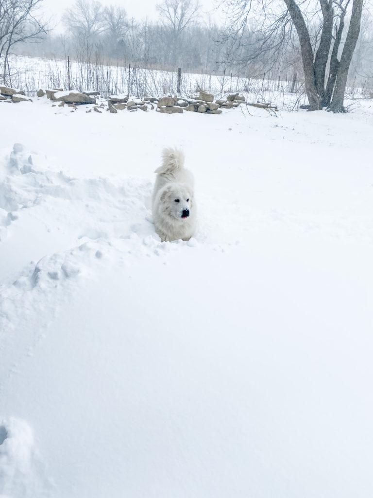White long-haired dog in deep snow | IgniteNourishThrive.com