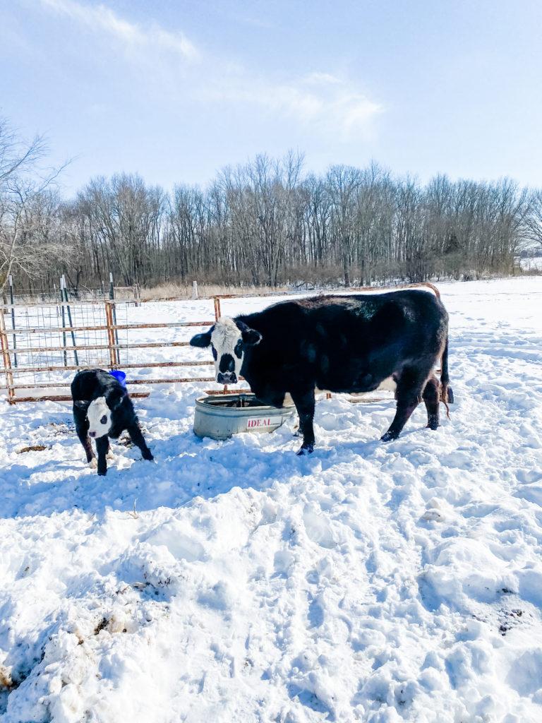 mama cow and baby in the snow | 1000 Hours Adventure - February Recap | IgniteNourishThrive.com